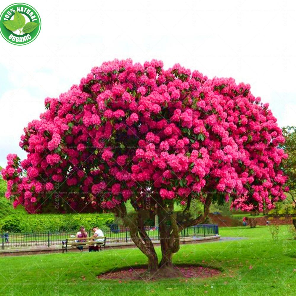 10pcs Seeds Giant Pink Sakura Beautiful Blossom Tree Cherry Perennial Bonsai Ebay Planting Shrubs Perennial Shrubs Perennials