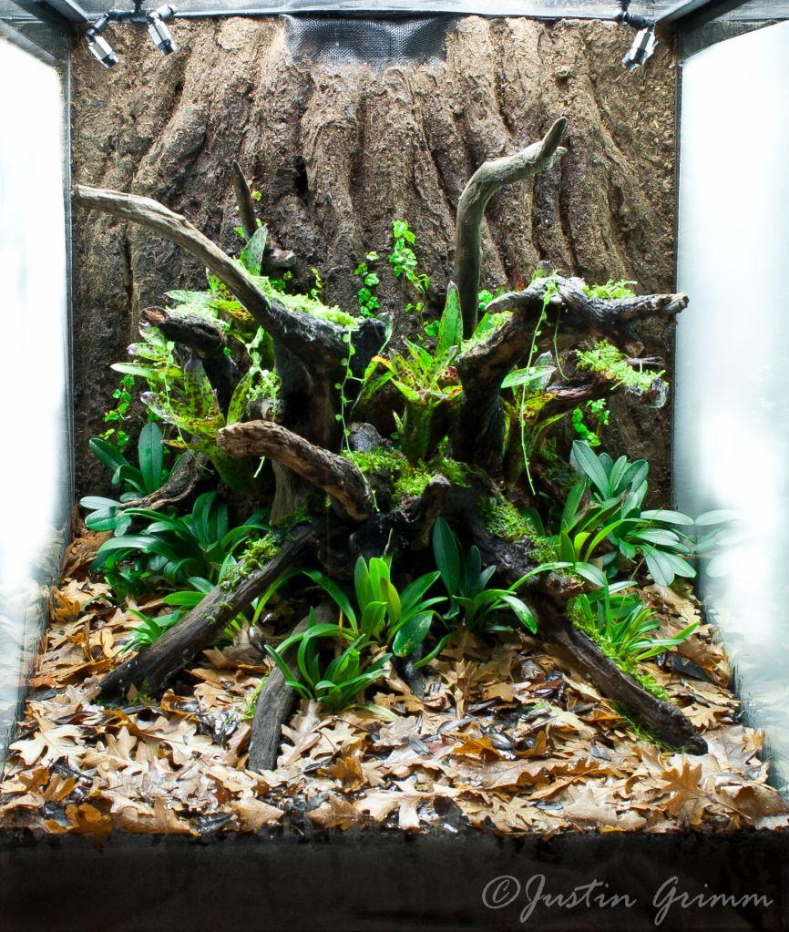 Grimm 39 s gnarly jewel constrction vivariums paludariums - Begonia argentata ...