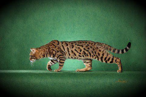 Bengal cat for sale in tulsa