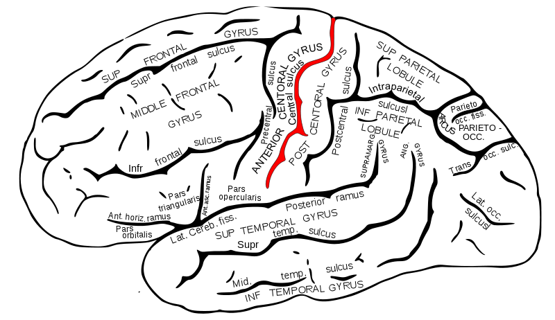 central sulcus- divides frontal lobe from parietal | neuro, Human Body