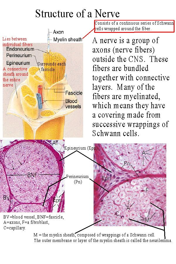 Connective Tissue Layers of Nerves CNS, myelin, schwann cells ...