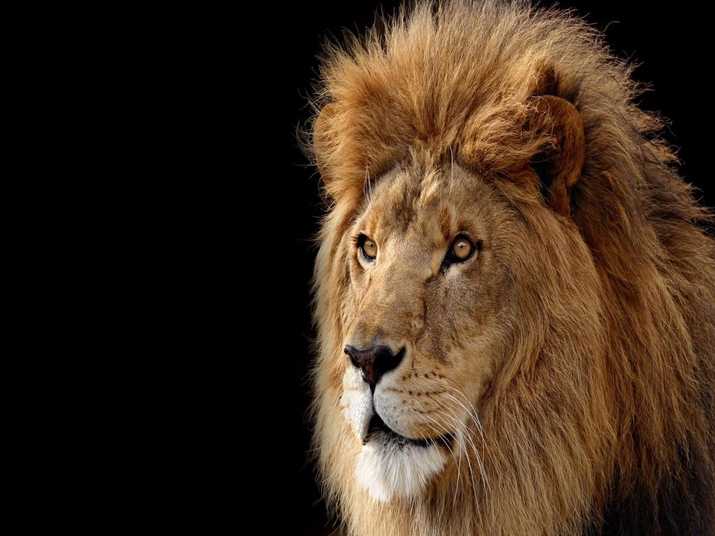 Animals Lion Wallpapers Hd Desktop And Mobile Backgrounds: Lion HD Desktop Wallpaper : Widescreen : Fullscreen