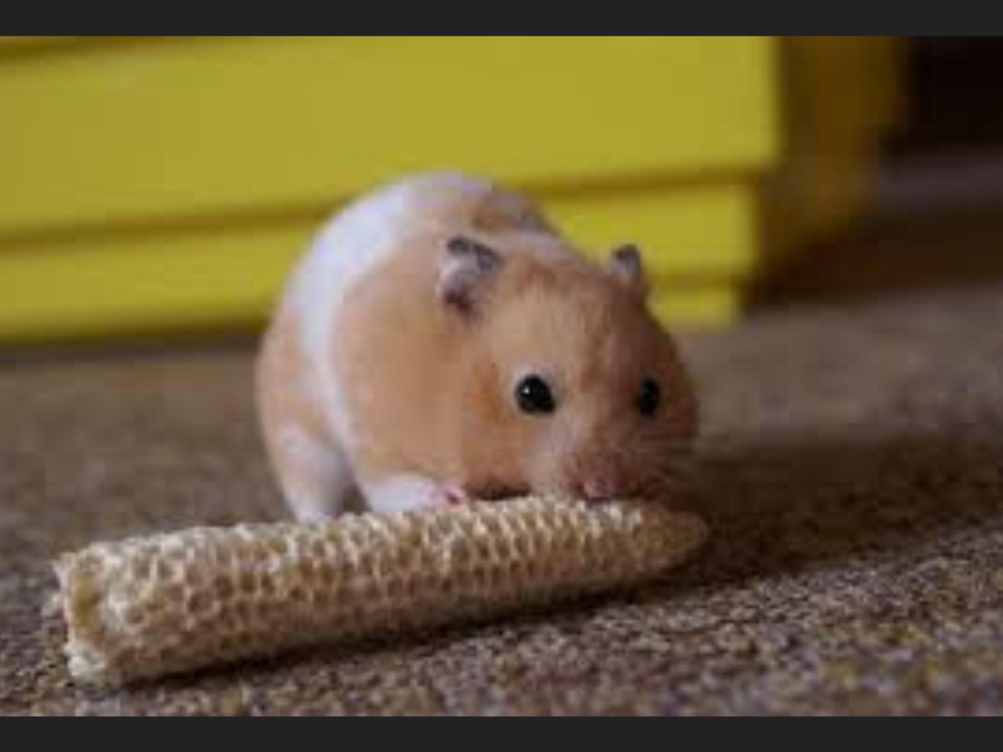 Cute Teddy Bear Hamster Hamsters As Pets Bear Hamster Cute Hamsters