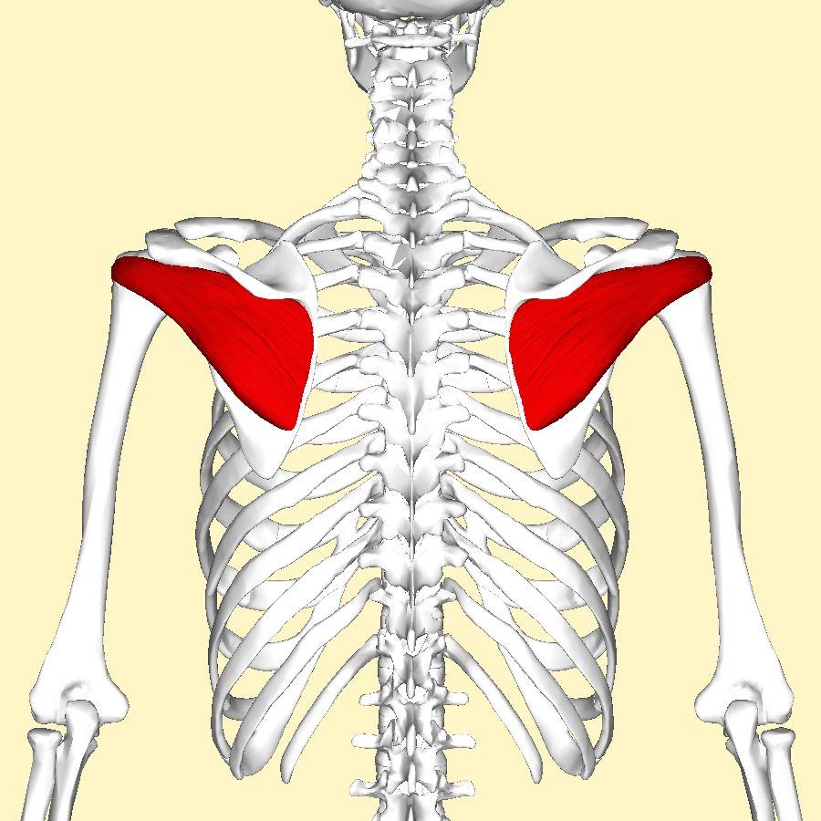 Infraspinatus (one of rotator cuff muscle): infraspinatus fossa of ...
