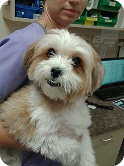 Fort Myers Fl Maltese Shih Tzu Mix Meet Fluffy Sadie A Dog For Adoption Http Www Adoptapet Com Pet 17226790 Fort Fort Myers Maltese Fort Myers Florida