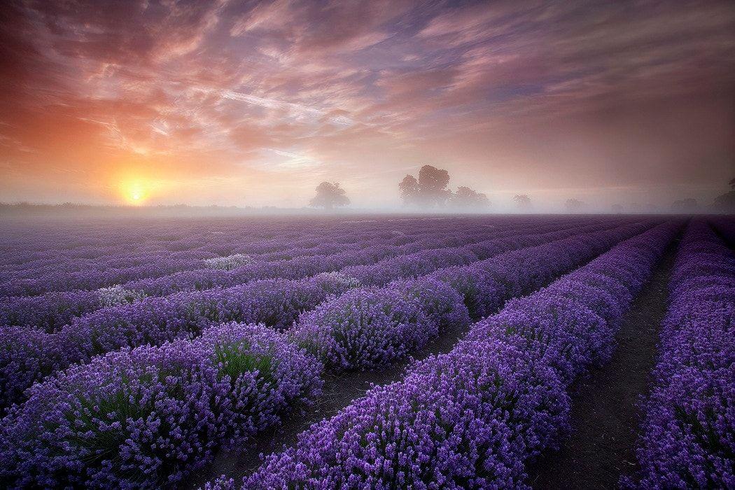 Image result for misty morning lavender