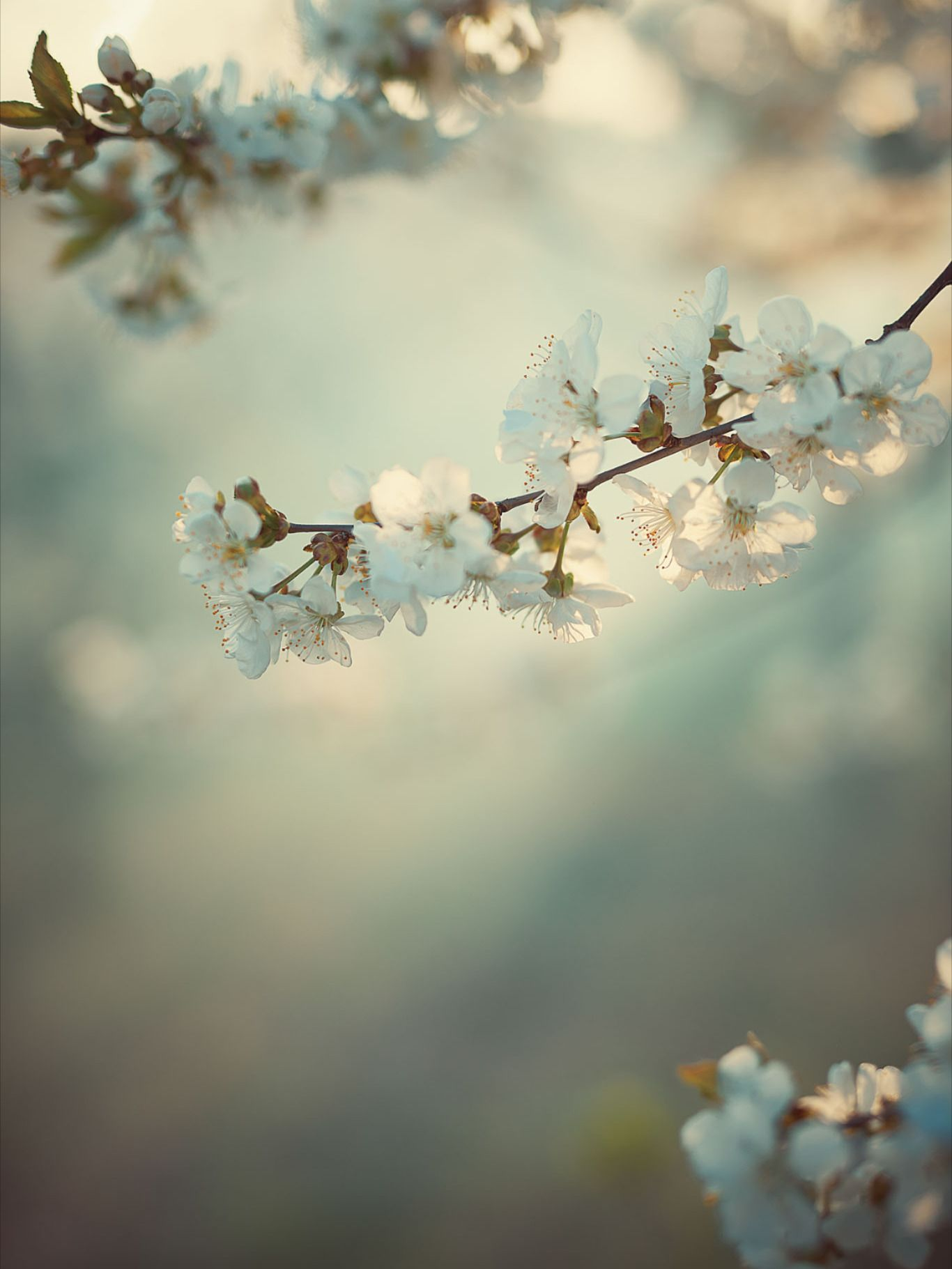 Pin By Paris Miller On Background Blossom Cherry Blossom Joy And Happiness