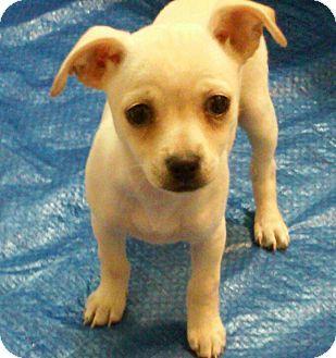 Kalamazoo, MI - Chihuahua/Rat Terrier Mix. Meet Duchess - Diane, a puppy for adoption. http://www.adoptapet.com/pet/14959906-kalamazoo-michigan-chihuahua-mix