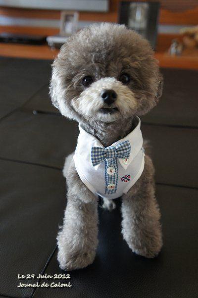 カロンの新しいお洋服 トイプードル かわいい 犬のグルーミング 犬 おもちゃ