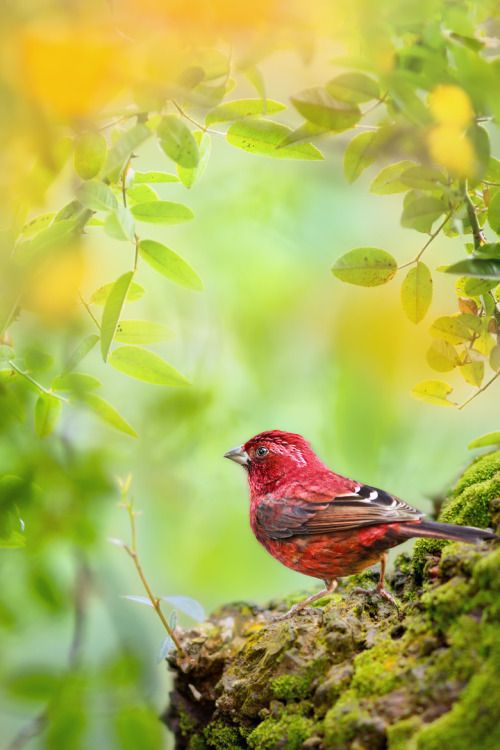 creatures-alive:  (via 台灣朱雀 ~ Taiwan Rosefinch ~ by FuYi Chen / 500px)