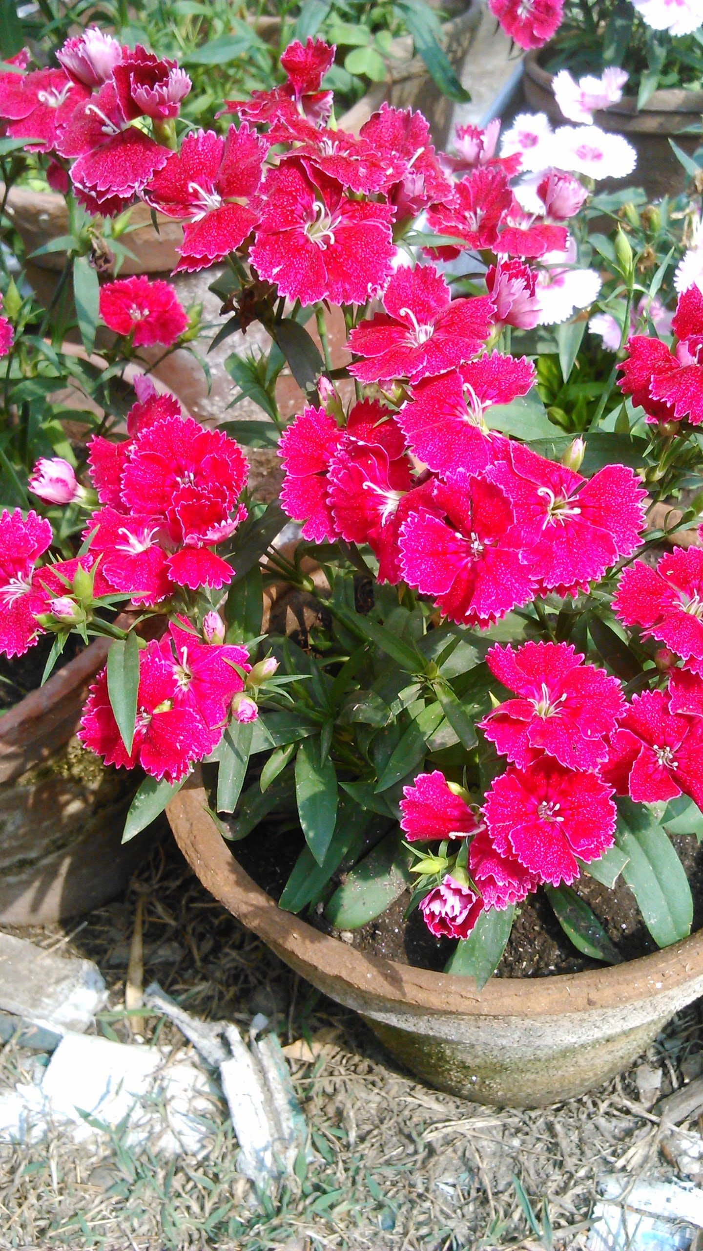 Pink Pansy Beautiful Flower Pinkpansy Garden Gardening Potted