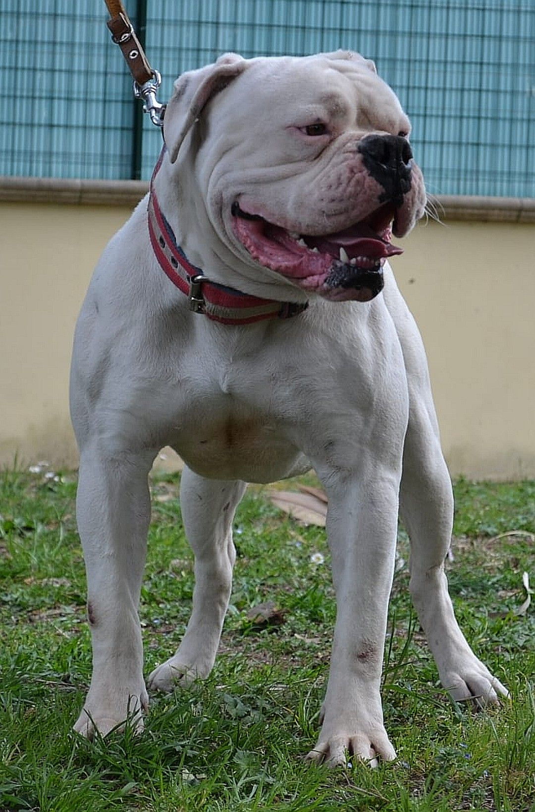 American Bulldog Lp S Sem 100 My Dog My Production