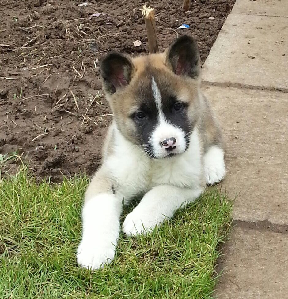 Makita Baby Akita Puppies Akita Puppies For Sale Akita Dog