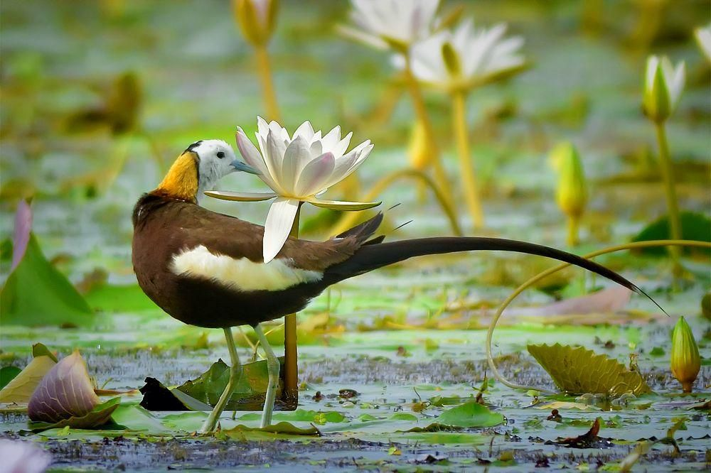 Water Lilly and a Pheasant tailed Jacana...