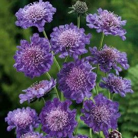 Scabiosa Butterfly Blue, Scabiosa columbaria, Pincushion Flower - Perennials from American Meadows