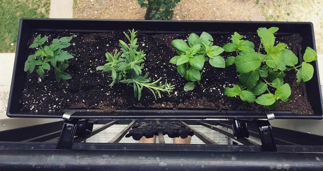 Window box planters :) they are cherry tomatoes lavender basil and mint! My little #garden in #Chicago