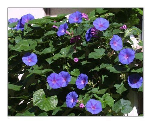 Perennial Morning Glory Blue Dawn Flower Ipomoea Indica Bloom All Day For Months