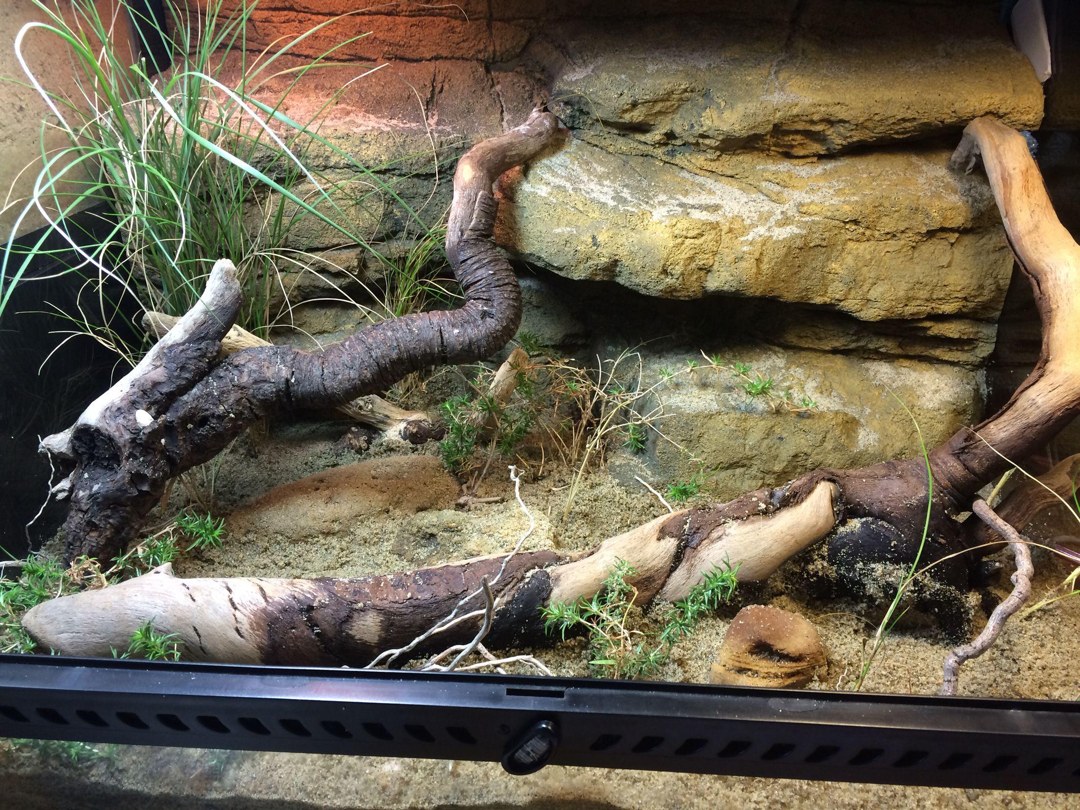 Reptile steppe runner vivarium terrarium reptiles pinterest