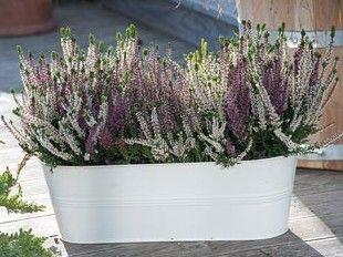 Mi az ősz klasszikus balkon-és kerti növénye?