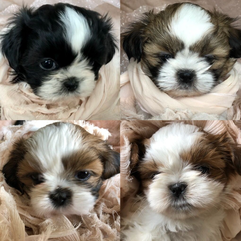 I Mean Seriously These Puppies Are So Freaking Cute Shihtzu Foxiepup Mrmilespup Shitzu Puppies Cute Baby Animals Shih Tzu Puppy