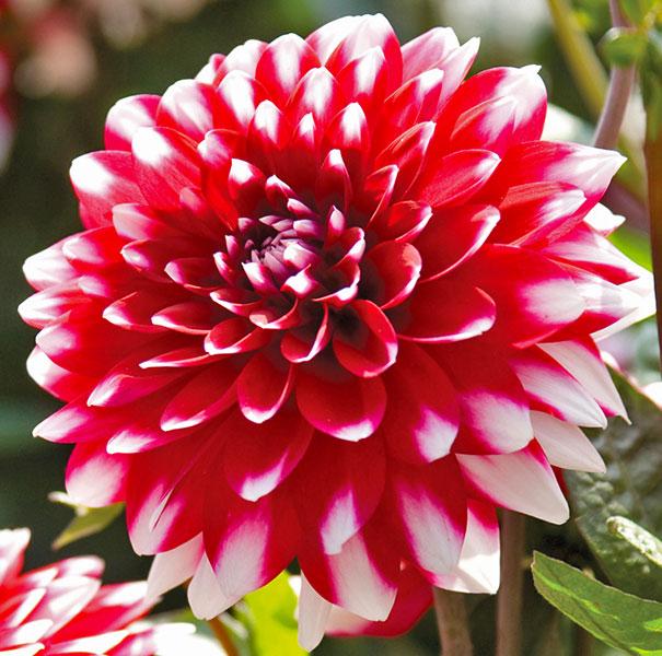 Red White Not Sure Name In 2020 Delilah Flower Dahlia Dahlia Flower