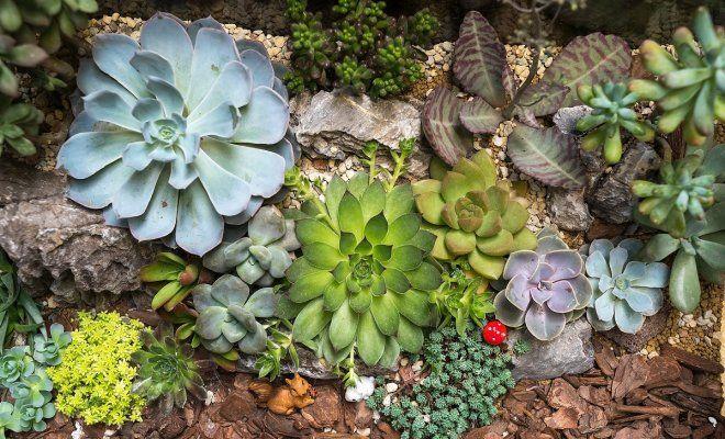 Виды садовых очитков – фото, названия и популярные сорта ...