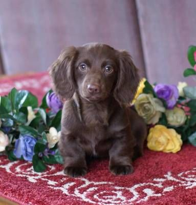 Akc Solid Chocolate Long Hair Min Male Breed Dachshund