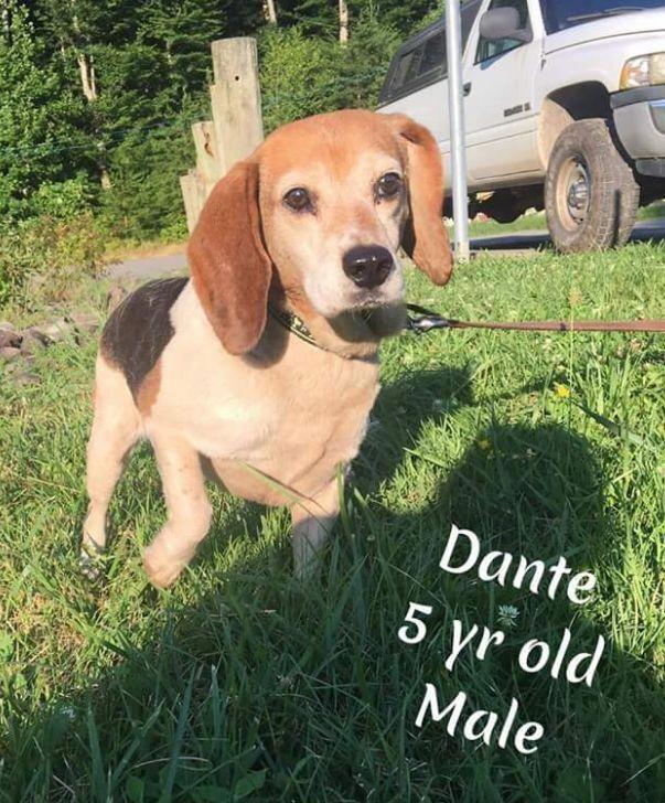 Beagle Friendly And Curious Beagle Beagle Puppy Dogs Beagle