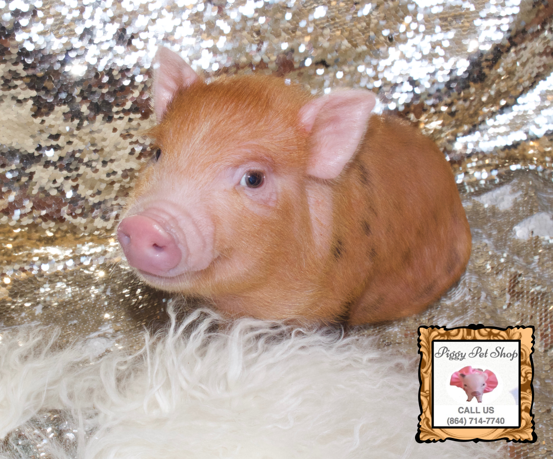 Teacup Teddy Bear Piglet! in 2020 Teacup pigs for sale