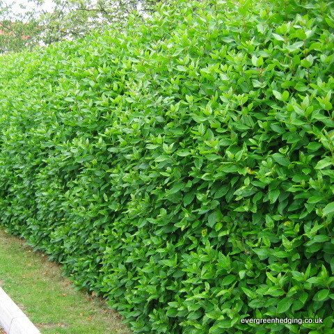 Viburnum tinus is an evergreen that forms a dense hedge up to 3-4 metres tall. The leaves are dark glossy green. Viburnum tinus produces masses of white flowers from pink buds for a long period from October until April.