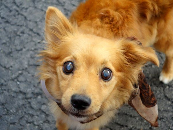 SAFE 7-14-2015 by Amsterdog Animal Rescue --- SUPER URGENT Manhattan Center FIONA – A1042980  ***BLIND***  **SAFER:  AVERAGE HOME**  FEMALE, BROWN, AUST TERRIER MIX, 10 yrs STRAY – STRAY WAIT, NO HOLD Reason STRAY Intake condition GERIATRIC Intake Date 07/06/2015