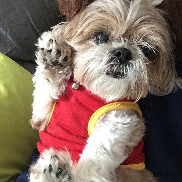 Shih Tzu On Instagram Happy Friday Belongs To Jewelshihtzuwu Tag With Shihtzusofinstagramuse For A Chance To Be Feat Shih Tzu Shih Tzu Puppy Shih Tzu Dog