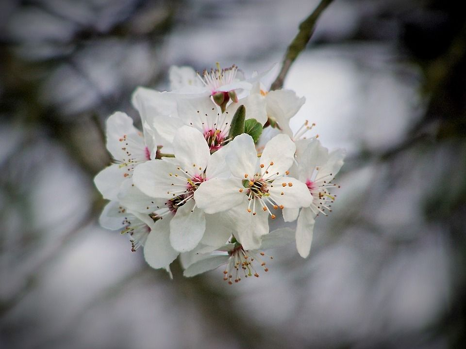 Free Image On Pixabay Cherry Cherry Blossom Flowering White Flowers Beautiful Flowers Cherry Blossom Flowers