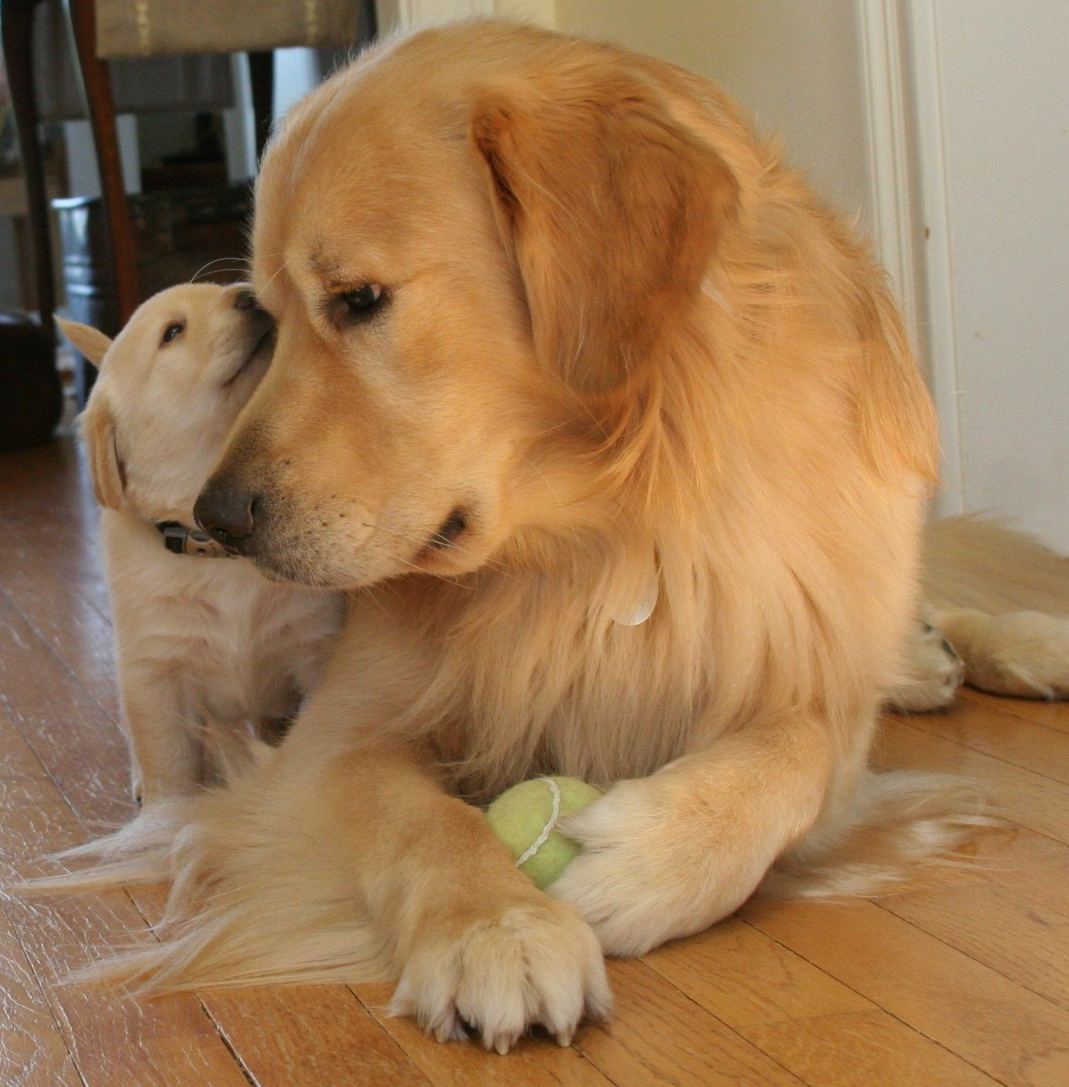 Berkley Whispering In His Dad S Ear Golden Retriever Dogs