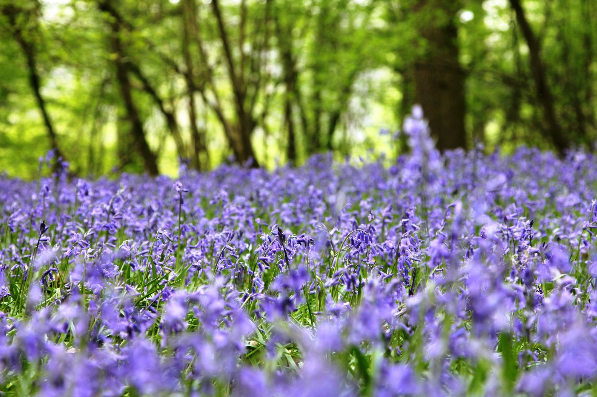 A Haze Of Blue Unfurling Across The Woods Have You Spotted Any
