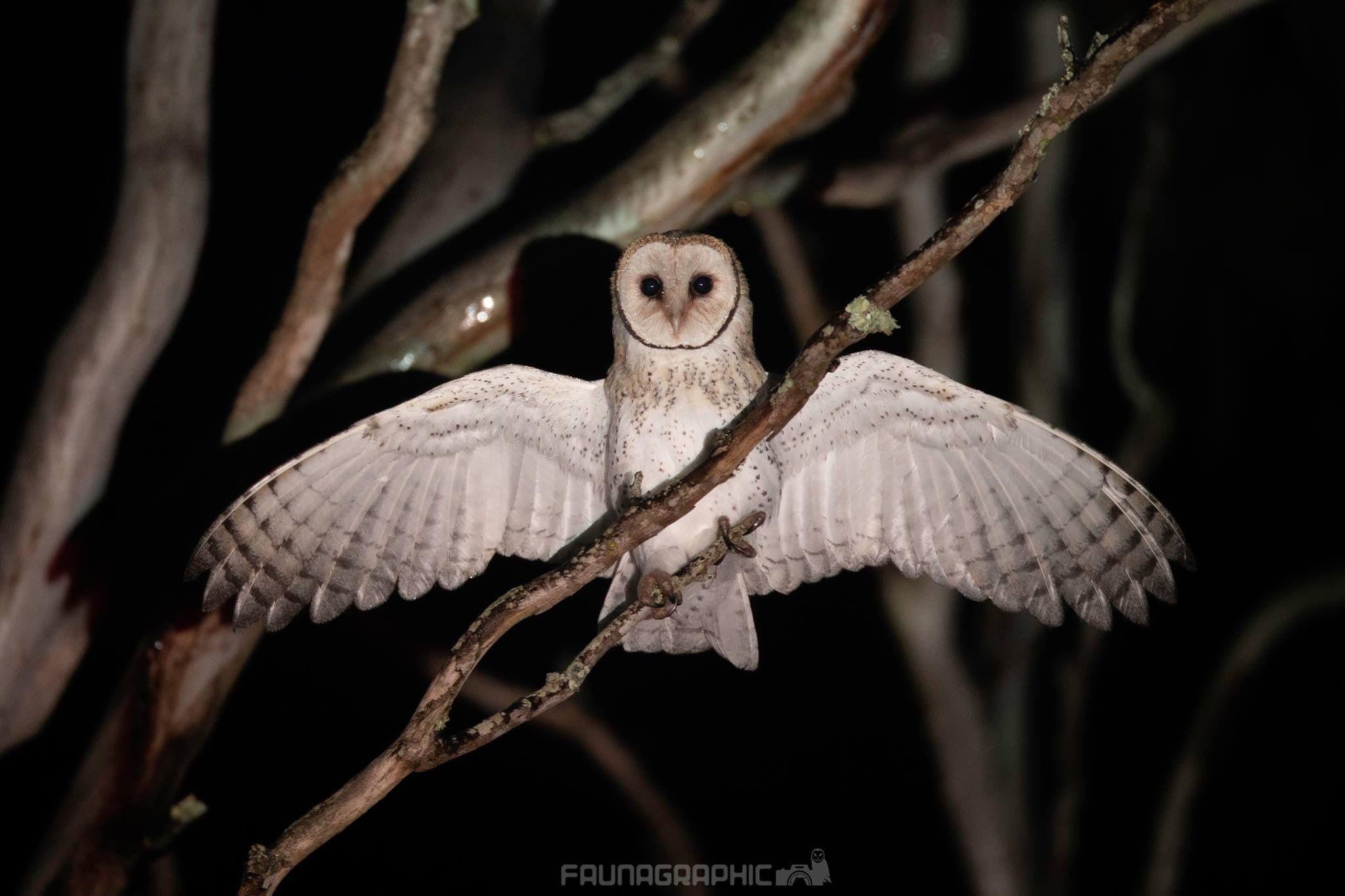 Australian Masked Owl | Australian birds, Owl, Animals