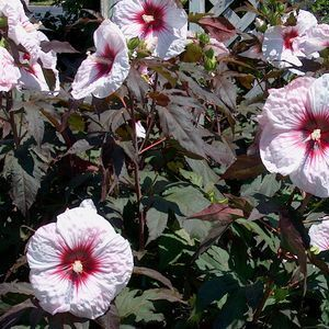 hibiscus 39 kopper king 39 hibiscus mallow plant and plants. Black Bedroom Furniture Sets. Home Design Ideas