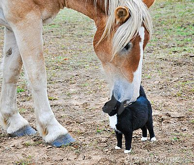 Belgian Draft horse with a cat by Pimmimemom, via Dreamstime