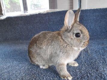 dwarf agouti baby rabbit | Elly's bunny board | Pinterest