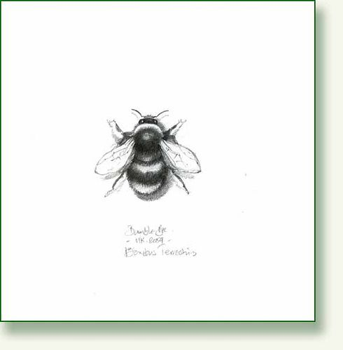 Bumble Bee Pencil Drawing By Pencilandleaf Via Flickr