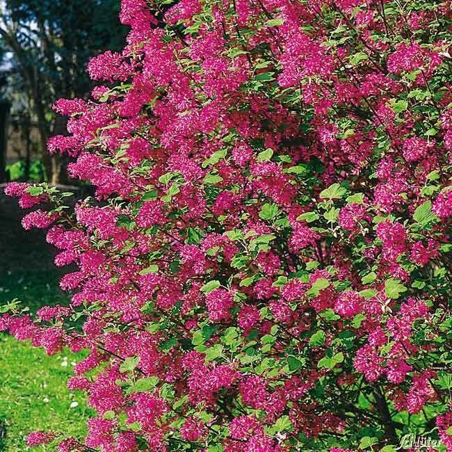 Blutjohannisbeere Ribes sanguineum Atrorubens #immergrünesträucher