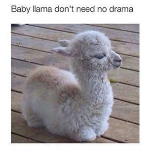 Baby Llama Don T Need No Drama Cute Baby Animals Cute Animals
