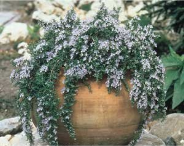 Creeping Rosemary Can Be Put In Planter Pot Patio Plants Rosemary Plant Plants