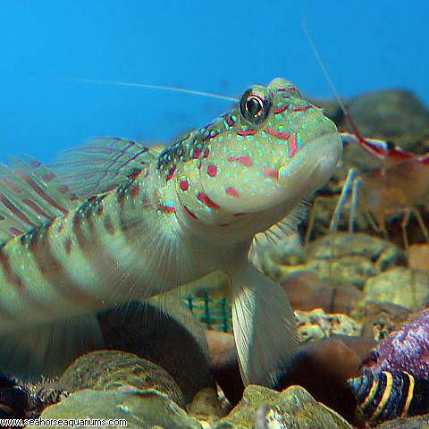Pink And Blue Spotted Goby Reef Tank Goby Fish Sea Animals