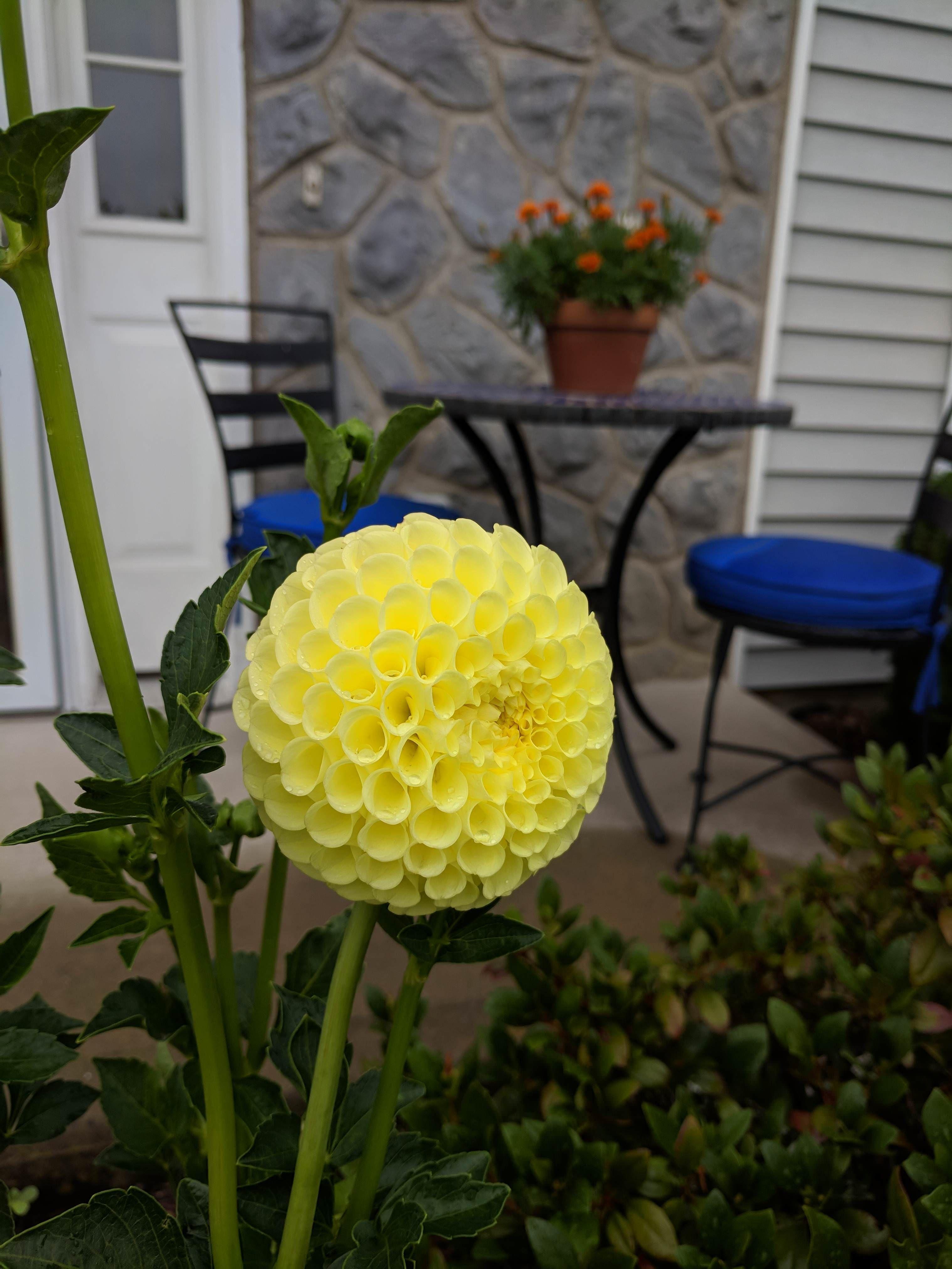 My Yellow Ball Dahlia Gardening Garden Diy Home Flowers Roses