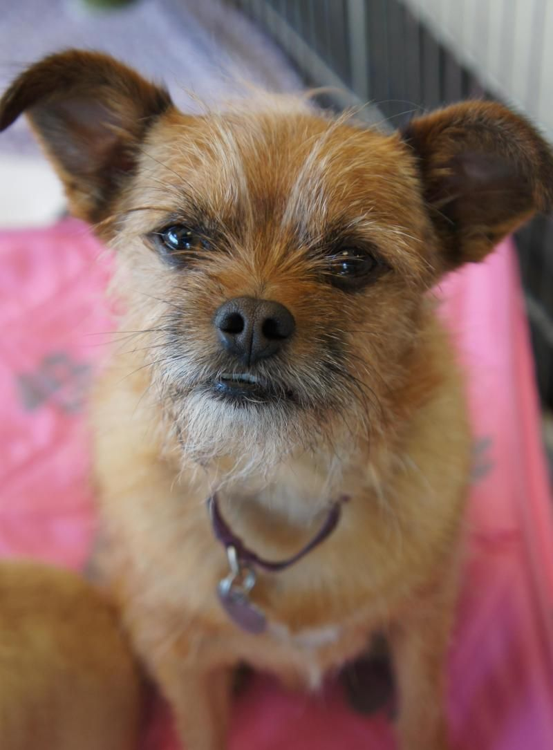 Adopt Yoda 2 On Brussels Griffon I Love Dogs Terrier Mix