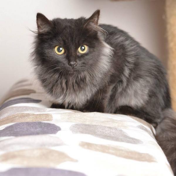 Jais Male Les Pachas Association Protection Feline Rennes Adoption Chat Chaton Adoption Chat Chat Gris Et Blanc Chat