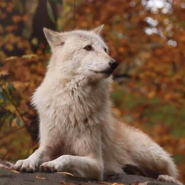 Photo of Beautiful Female Wolf |  AUUUUU