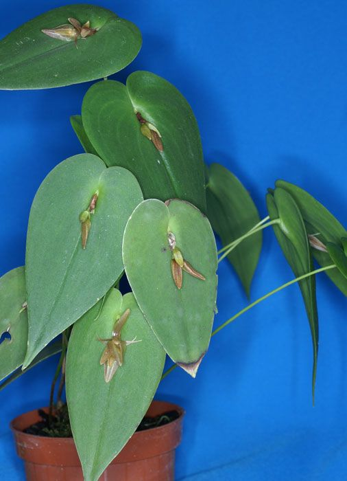 Acronia coriacardia