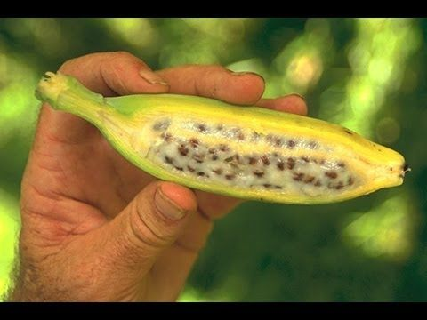 Germinating Banana Seeds In Glass Mason Jar How To Grow Bananas Grow Banana Tree Banana Seeds